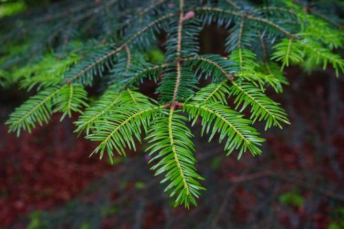 tannenzweig shoots fir