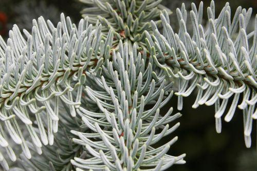 tannenzweig fir tree