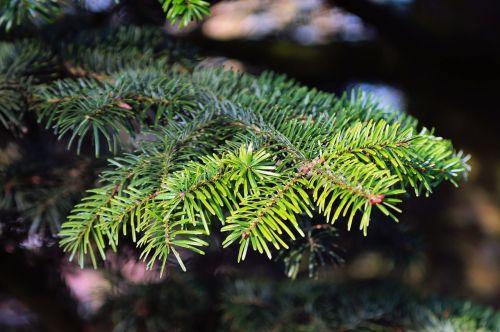 tannenzweig fir pine needles