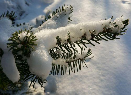 tannenzweig snowy snow