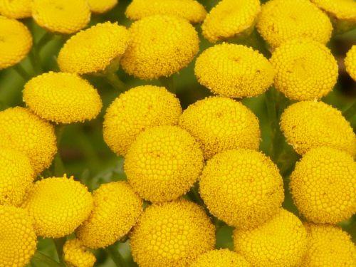 tansy tanacetum vulgare chrysanthemum vulgare
