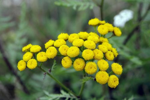 tansy yellow flowers herb