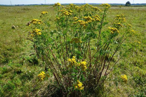 tansy medicinal plant healthy