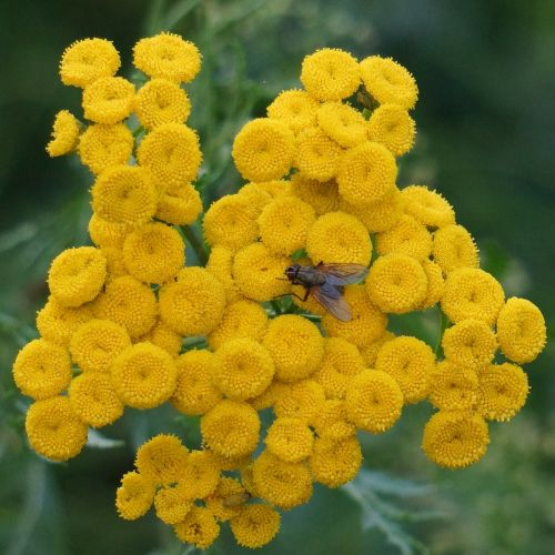 tansy tanacetum vulgare yellow blooms
