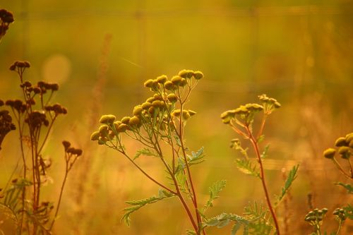 tansy plant flower