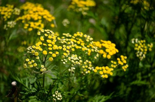 tansy flower yellow