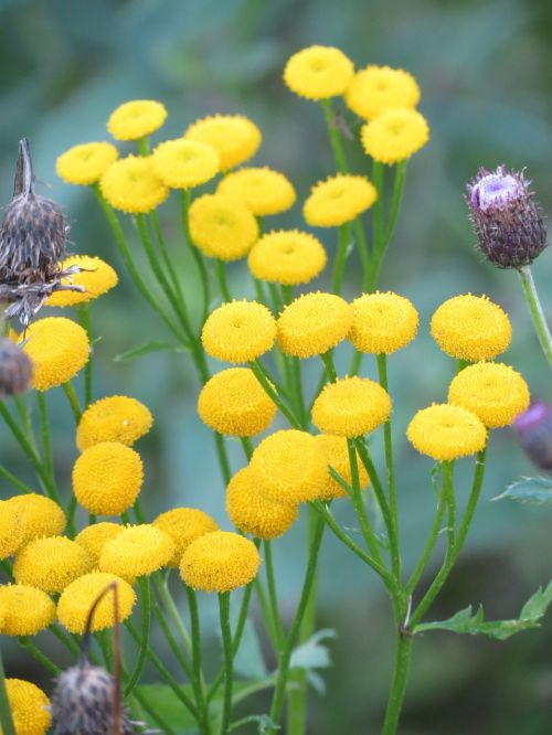tansy yellow flower