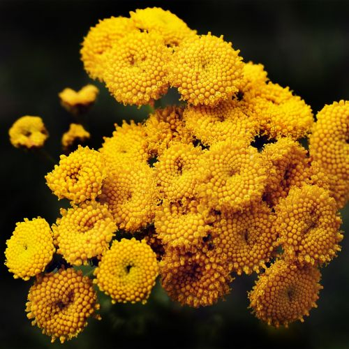 tansy flowers heilpfanze