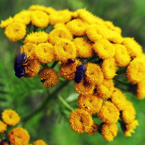 tansy flowers fly
