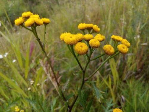 tansy meadow flowers summer