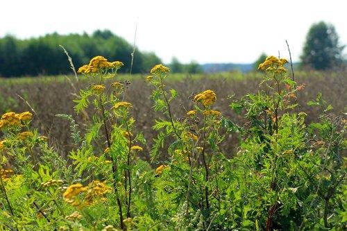tansy  field  landscape