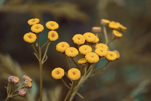 tansy  tanacetum vulgare  worm herbal