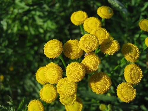 tansy  flowers  nature