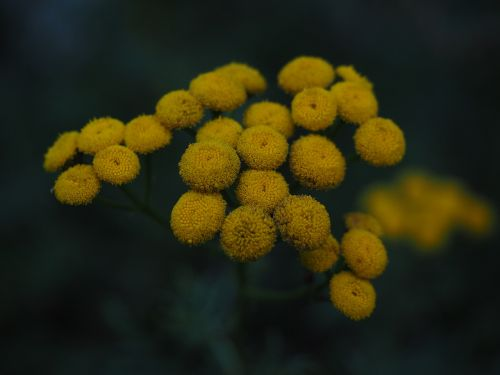 tansy flowers yellow