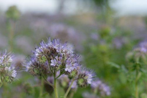 tansy phacelia  facelia  blue
