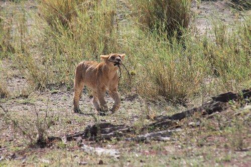 tanzania  lion  national park