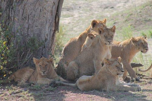 tanzania  pride of lions  savannah