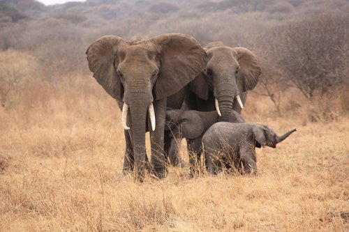 tanzania  animals  elephant