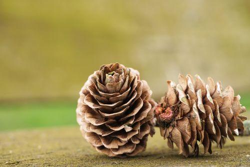 tap pine cones nature