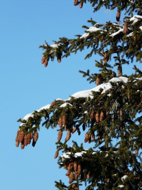 tap pine cones spruce