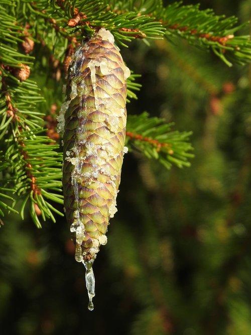 tap  resin  spruce