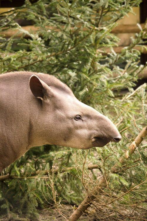 tapir animal mammal