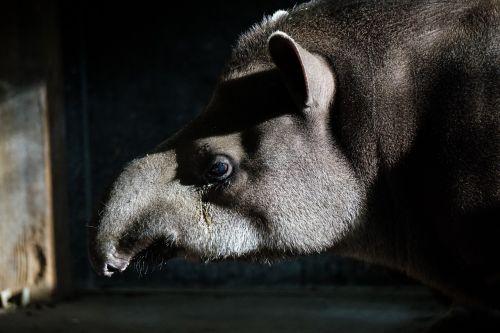 tapir zoo animal