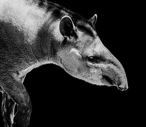 tapir black white