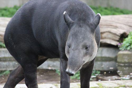 tapir zoo mammal