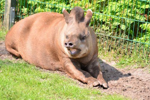 tapir cumbersome proboscis