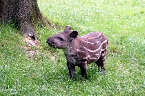 tapir  herbivore  zoo