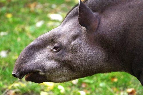 tapir  proboscis  mammal