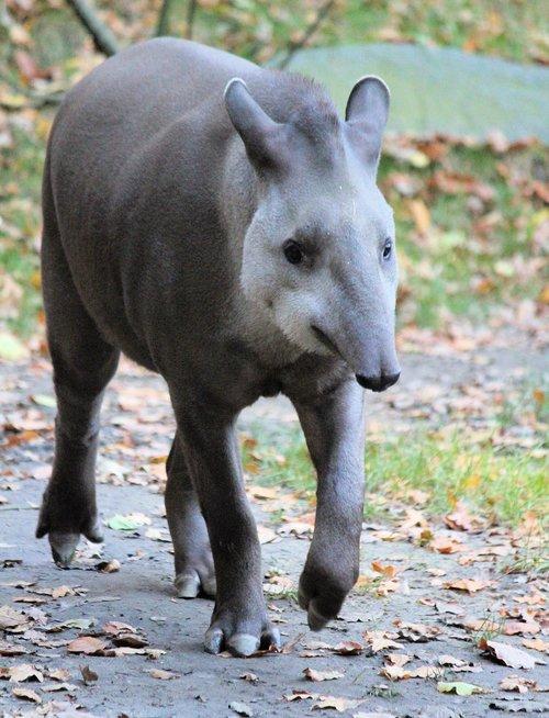 tapir  the south american  lichokopytník