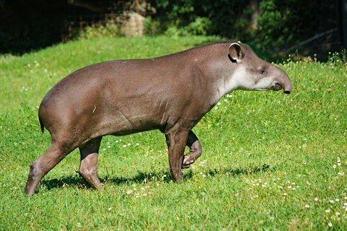tapir  the south american  animal