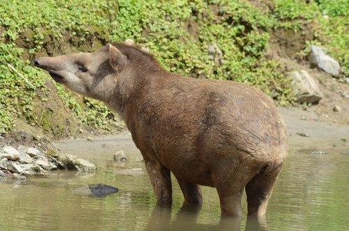 tapir  animal  water