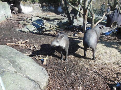 tapir lowland tapir tapirus terrestris