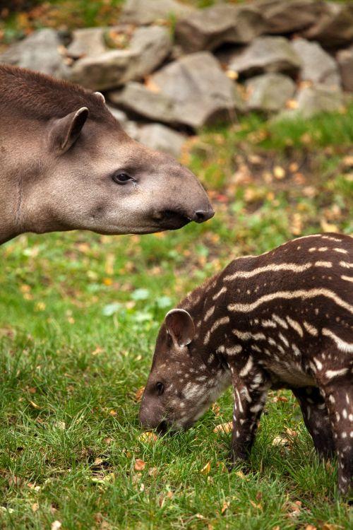 Tapir And Baby