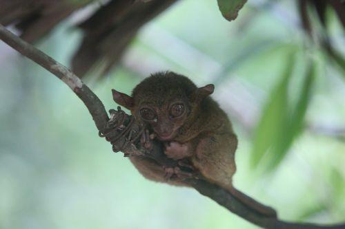 tar shea tar shea monkey tarsier