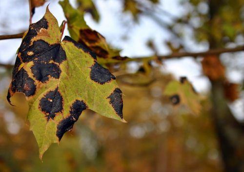 tar stain disease maple tree
