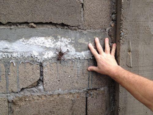 tarantula spider arachnid