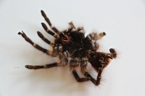 tarantula skin hair