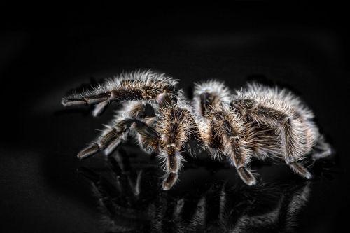 tarantula arachnophobisch spider