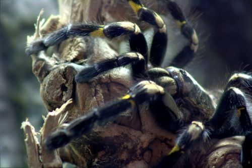 tarantula tree tarantula spider