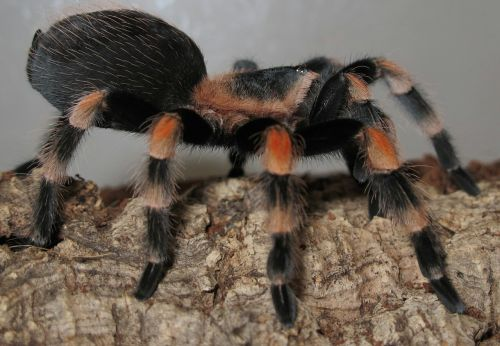 tarantula brachypelma smith terrarium