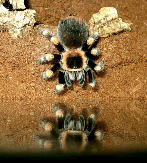 tarantula brachypelma smith
