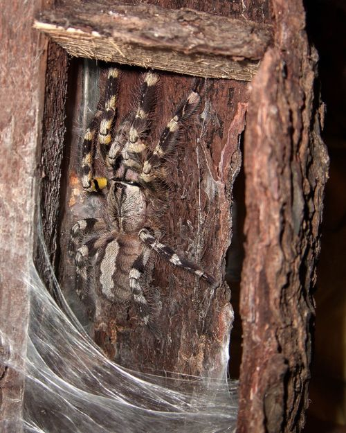 tarantula spider arachnids