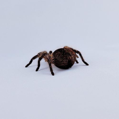 tarantula hairy macro