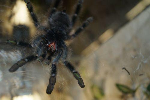 tarantula mandibles spider