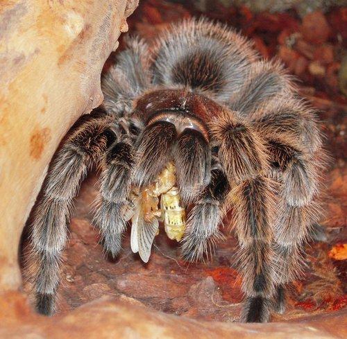 tarantula  insect  spider