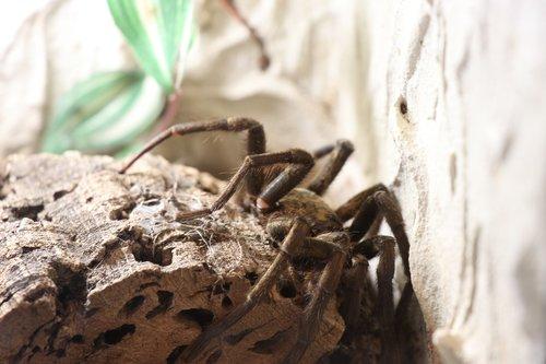 tarantula  spider  close up